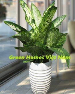 Cây danh dự - Green Homes Việt Nam
